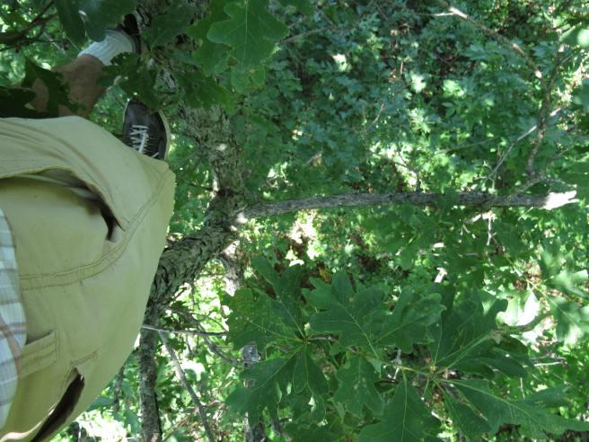 up in oak tree_8